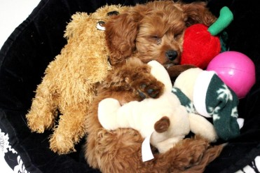 Puppy with toys at FurryKids@Play