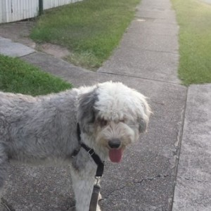 dog walking brisbane
