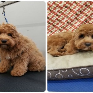 grooming-groomer-near-Balmoral-Normanpark-Cooparoo-East Brisbane -Carina-Carindale-Tingalpa-Wynnum-Morningside-Bulimba-Murarrie -Japanese groomer-Hongkongese groomer-Asian groomer-Asian fusion-Style cut-puppy grooming-grooming puppy-specialised puppy grooming