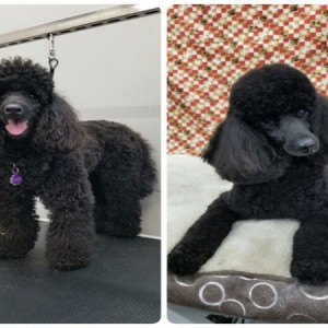 grooming-groomer-near-Balmoral-Normanpark-Cooparoo-East Brisbane -Carina-Carindale-Tingalpa-Wynnum-Morningside-Bulimba-Murarrie -Japanese groomer-Hongkongese groomer-Asian groomer-Asian fusion-Style cut-traditional poodle