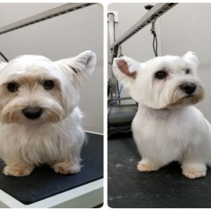 grooming-groomer-near-Balmoral-Normanpark-Cooparoo-East Brisbane -Carina-Carindale-Tingalpa-Wynnum-Morningside-Bulimba-Murarrie -Japanese groomer-Hongkongese groomer-Asian groomer-Asian fusion-Style cut-traditional westie West highland white terrier