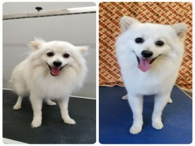 grooming-groomer-near-Balmoral-Normanpark-Cooparoo-East Brisbane -Carina-Carindale-Tingalpa-Wynnum-Morningside-Bulimba-Murarrie -Japanese groomer-Hongkongese groomer-Asian groomer-Asian fusion-Style cut-Pomeranian cross-all scissored body