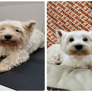 grooming-groomer-near-Balmoral-Normanpark-Cooparoo-East Brisbane -Carina-Carindale-Tingalpa-Wynnum-Morningside-Bulimba-Murarrie -Japanese groomer-Hongkongese groomer-Asian groomer-Asian fusion-Style cut-Westie-white highland white terrier
