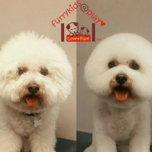 Brisbane Grooming Bichonfries Round face Grooming Furry kids