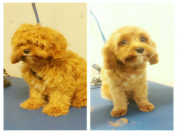 cavoodle-grooming-brisbane-puppy