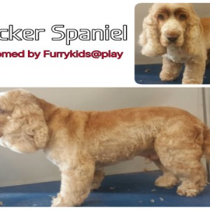 cocker-spaniel-grooming-brisbane