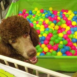 Coco Poodle, Brisbane Dog Day Care