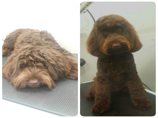 grooming-brisbane-round-face-labradoodle