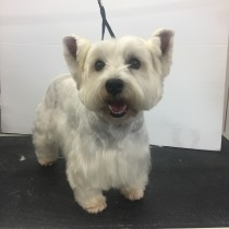 Westy West highland white terrier--grooming-groomers-near--Balmoral-Normanpark-Cooparoo-East Brisbane
