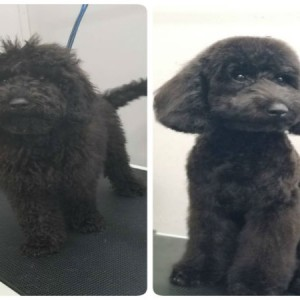 perry-puppy-first-grooming-brisbane-grooming-groomer-morningside-east-brisbane
