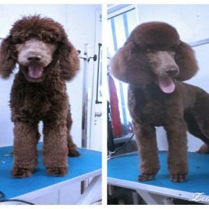 poodle-poodle-face-feet-grooming-brisbane