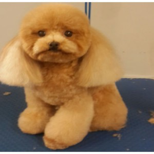poodle-round-face-brisbane-grooming-murarrie