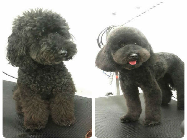 poodle-round-face-grooming-brisbane