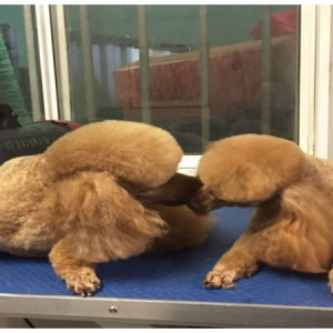 poodles-family-love-grooming-brsibane