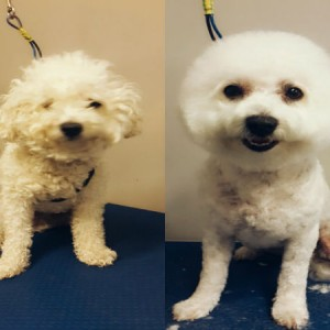 round-face-grooming-brisbane-bichon-cross