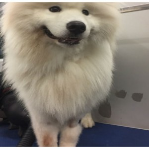 samoyed-grooming-brisbane