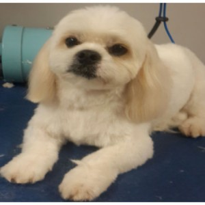 shih-tzu-cross-grooming-brisbane