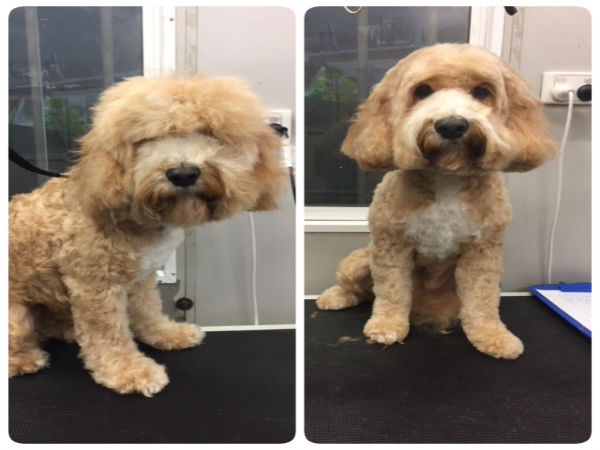 square-face-grooming-cavoodle