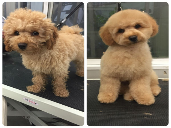 toy-poodle-teddy-bear-face-grooming-brisbnane
