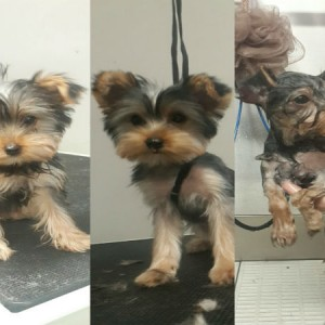 yorkshire-terrier-yokie-puppy-grooming-brisbane