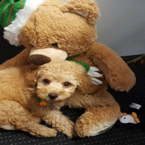 baby-poodle-daycare-grooming-brisbane-doggy-daycare-dog-daycare