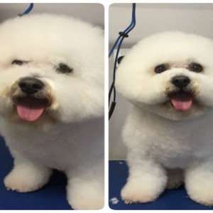 bichon-frise-bichon-face-round-face-brisbane-grooming