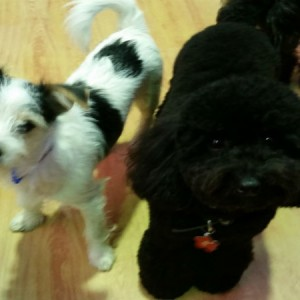 grooming-brisbane-doggy-daycare-dog-daycare-balmoral-norman-park-cooparoo-east-brisbane-c