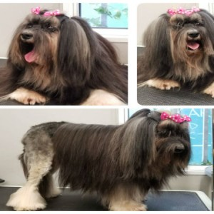lowchen-grooming-brisbane-morningside-murrarie-japanese-hongkonese-murarrie-morningside-cooparoo