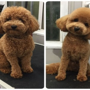 poodle-round-face-teddy-bear-face-grooming-brisbane