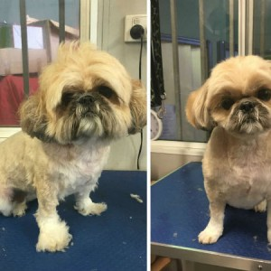 Brisbane Grooming Shih-tzu Round face GDog rooming Furry kids