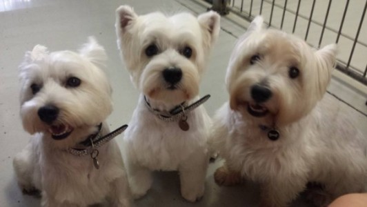Westies at Dog Day Care Morningside